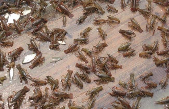 基围虾的养殖注意事项
