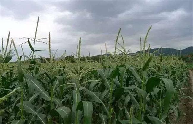 玉米 原因 不结棒
