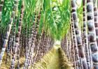 怎么种植甘蔗才好
