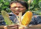 玉米不结棒的原因