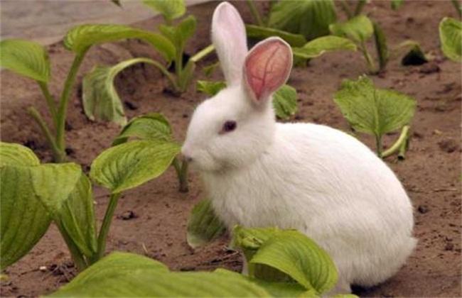 兔子常见的疾病