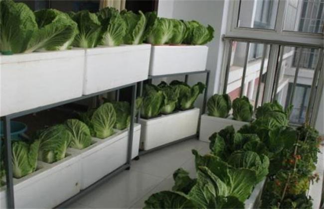 阳台上种植白菜的方法