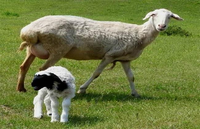 母羊为什么会流产