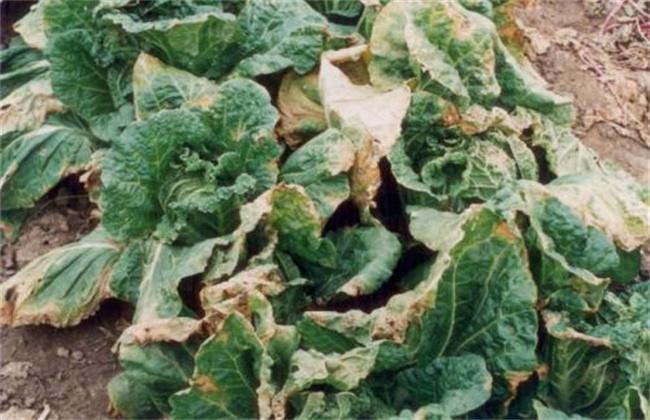 白菜常见病虫害防治方法