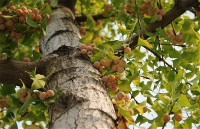 银杏的四种繁殖方法