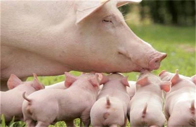 猪瘟的症状及防治