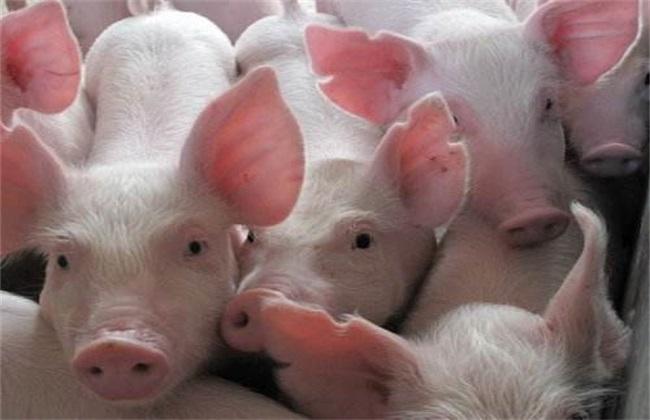 猪 猪瘟 防治