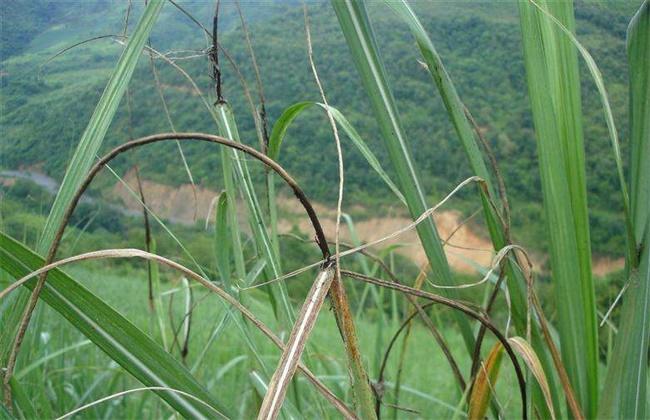 甘蔗常见病虫害的防治方法