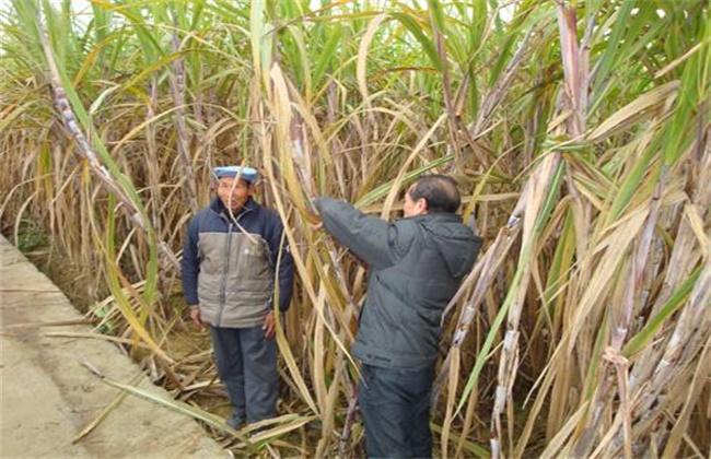 甘蔗越冬防冻措施