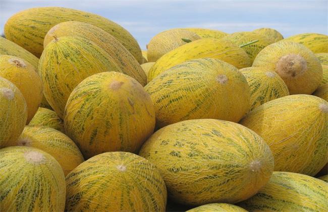 哈密瓜 品种 常见