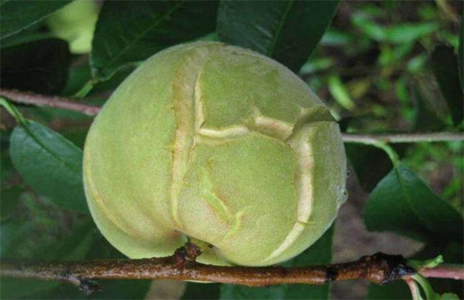 桃子裂果的原因及预防措施