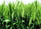 小麦种植的时间与方法