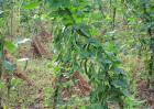 芸豆怎么种才能高产
