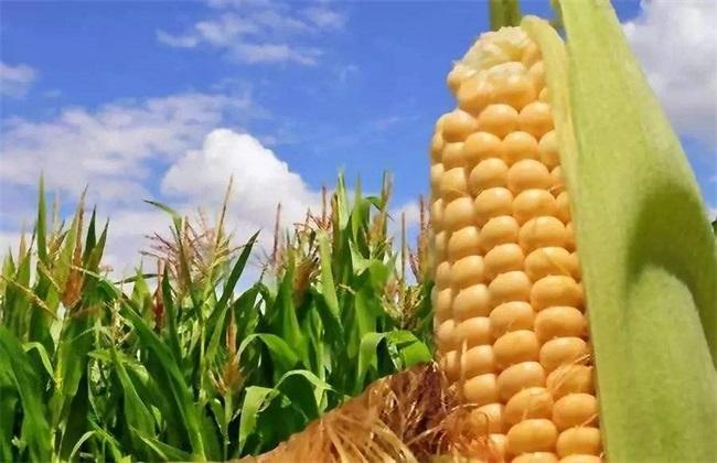 玉米 原因 分叉