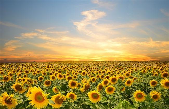 向日葵种植需要的条件