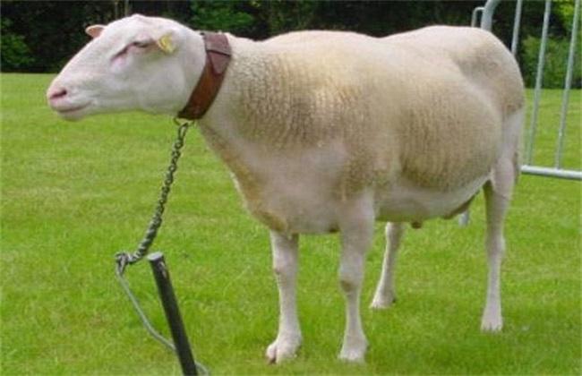 症状 羊瘟 防治