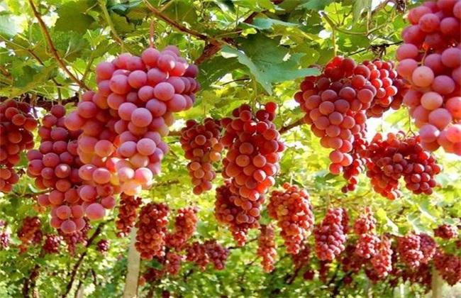 葡萄 膨大 怎么样
