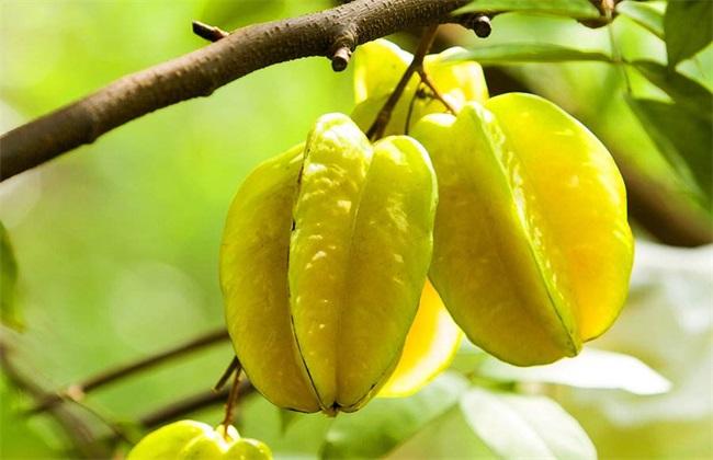 杨桃种植的注意事项