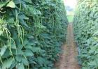 豆角产量低下的原因