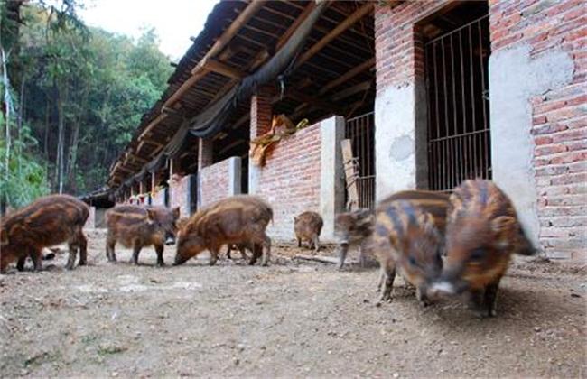 野猪养殖模式