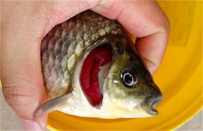 鲫鱼的常见病害防治方法