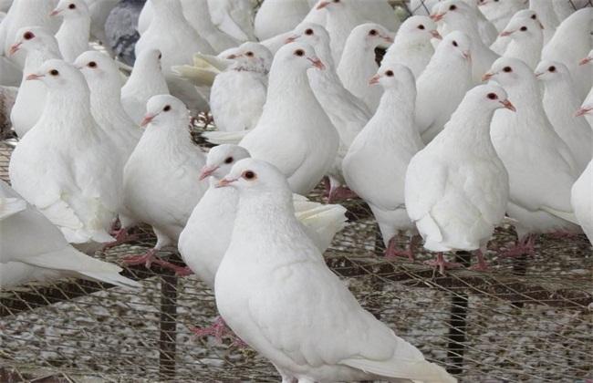 养殖鸽子的几种方向