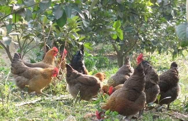 土鸡的销售渠道有哪些