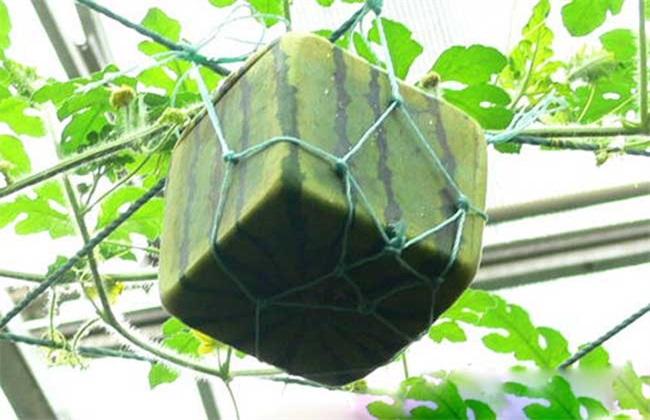 方形西瓜 方法 种植