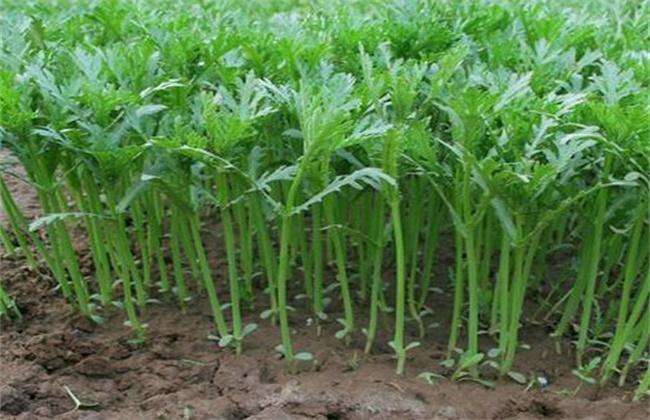 茼蒿高产种植技术