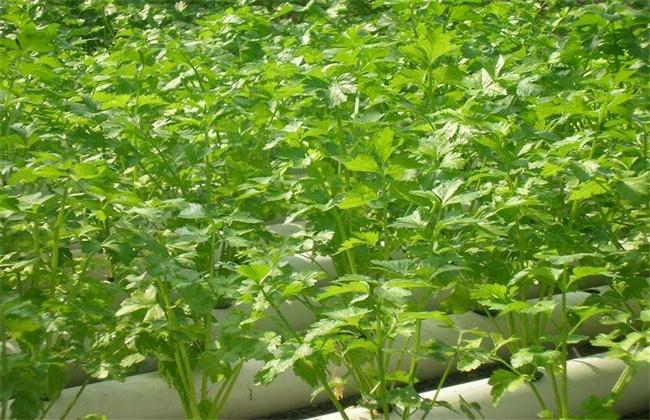芹菜無土栽植技術:芹菜的無土高產栽培方法