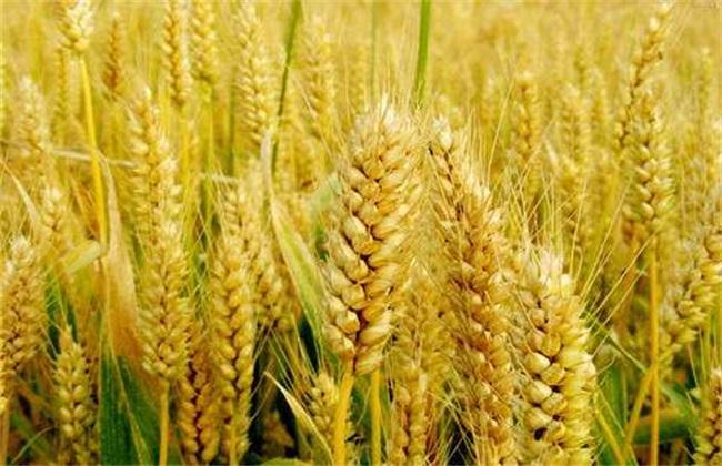 小麦的种植前景分析