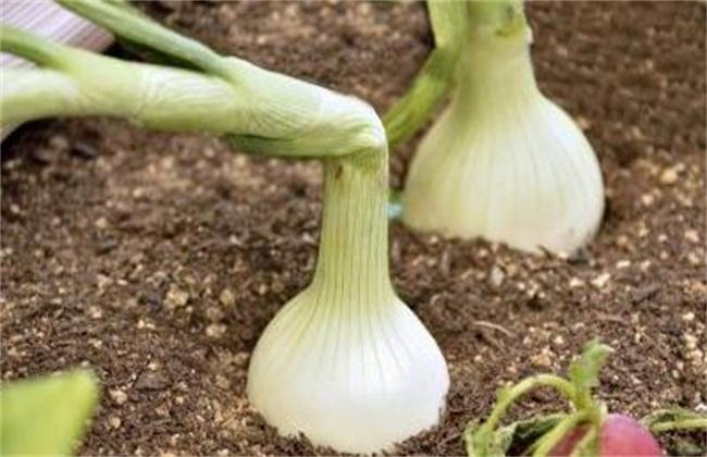 洋葱主要有什么病害