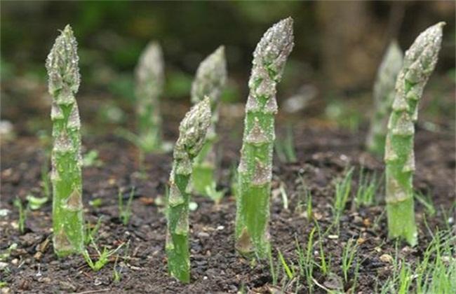 芦笋异常生长情况防治