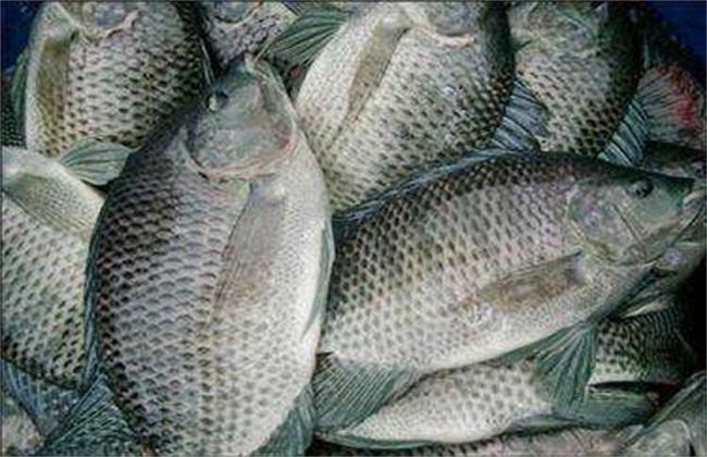 罗非鱼的养殖赚钱吗