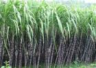 甘蔗种植的条件