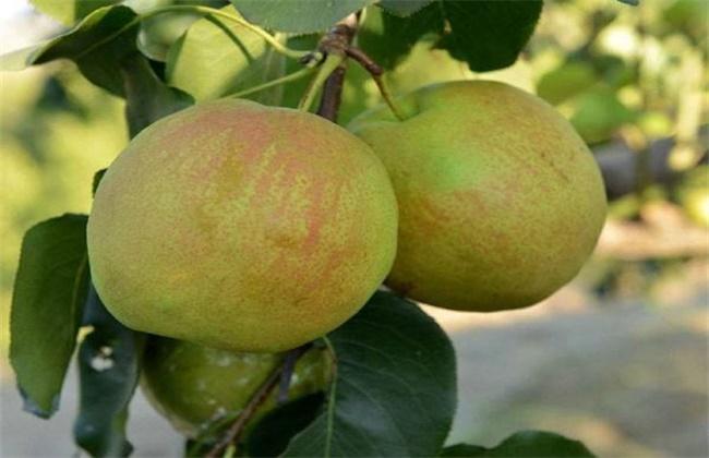 梨的高产种植技术