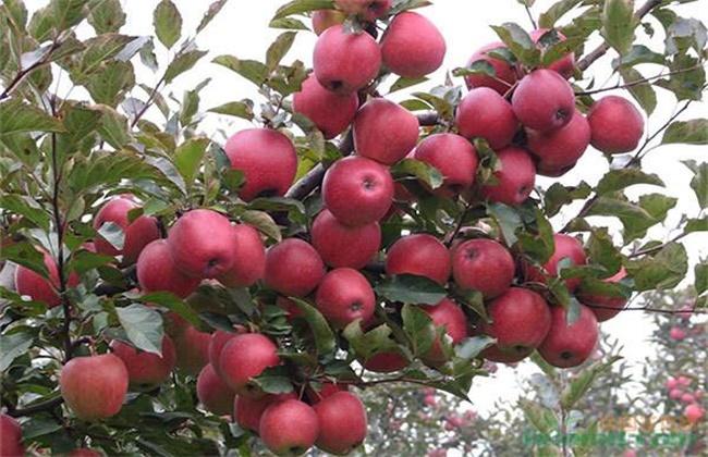苹果种植环境要求