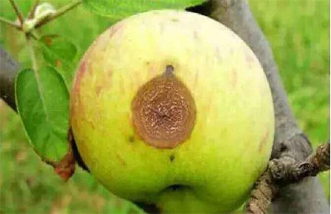 苹果常见病虫害防治方法