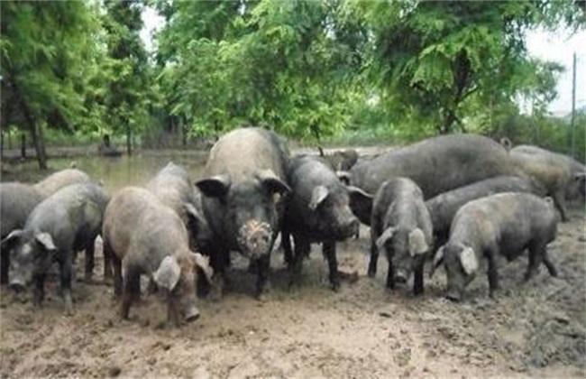 家庭农场养猪有什么优势