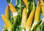 玉米多穗的原因