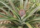 菠萝常见病虫害防治方法