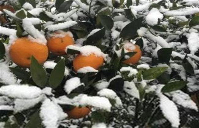 柑橘冬季防冻方法