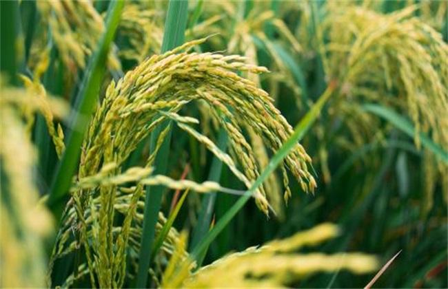 水稻 原因 贪青晚熟
