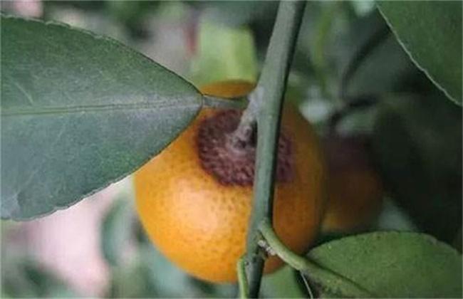 柑橘的常见病虫害防治方法