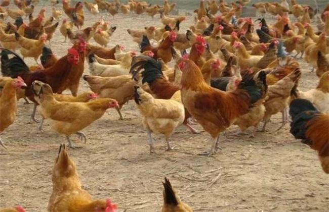 三黄鸡的养殖前景