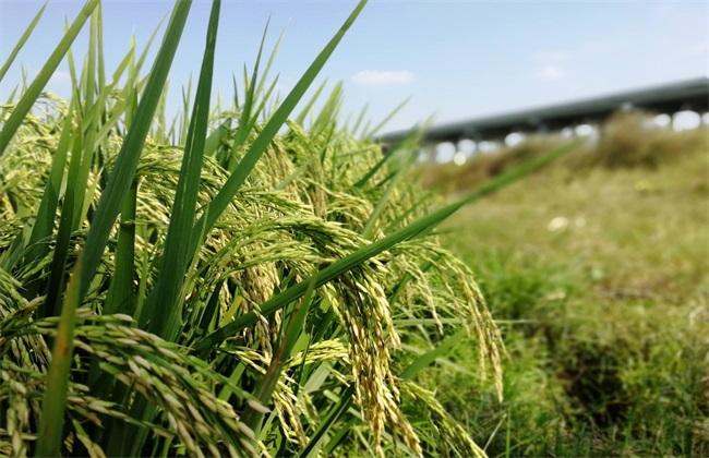 如何防治水稻贪青晚熟
