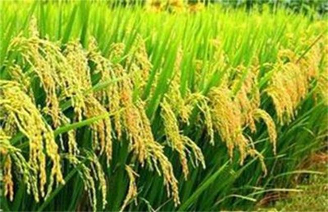 水稻 防治 贪青晚熟