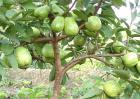 番石榴的种植方法