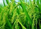 水稻贪青晚熟的原因