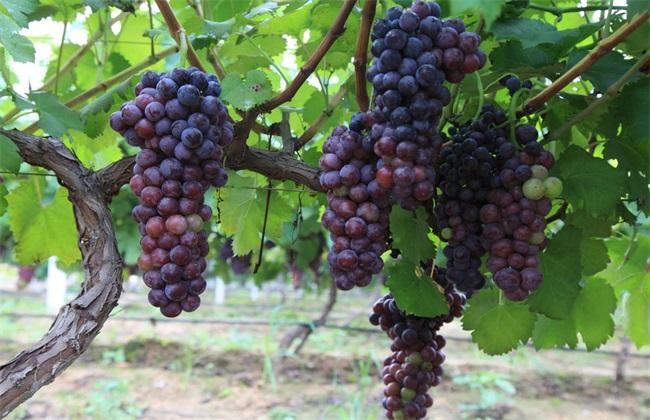 2018葡萄的种植前景分析